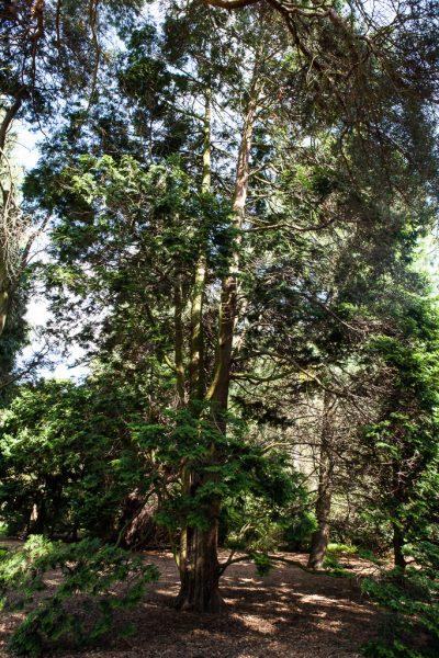 Japanese Cypress, Royal Botanic Garden Edinburgh
