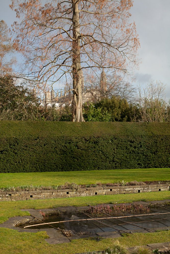 Swamp Cypress at Clare College, Cambridge